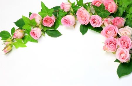 pink roses: rose