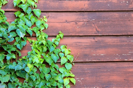 the old fence and ivy