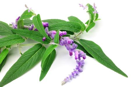 紫水晶鼠尾草