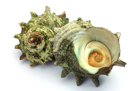 virginity: turban shell  Stock Photo