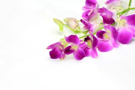 phalaenopsis: dendrobium phalaenopsis