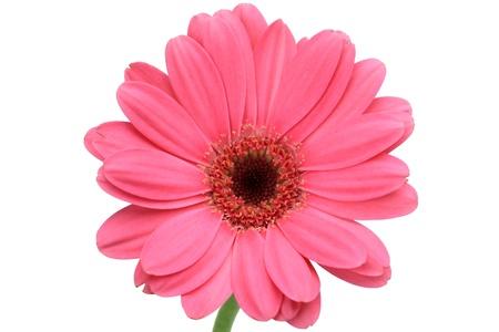 barberton daisy: gerbera Stock Photo
