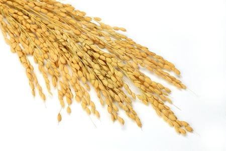 Ho preso una spiga di riso in uno sfondo bianco. Archivio Fotografico