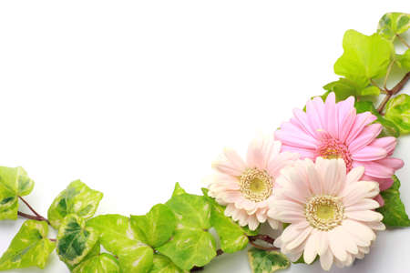 barberton daisy: I took gerbera and ivy in a white background