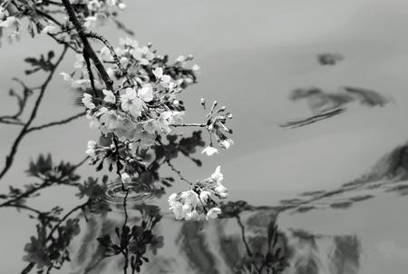 I took a cherry tree with monochrome  photo