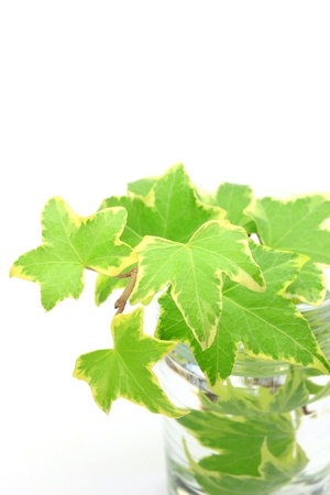 transparence: I put ivy in a glass and took it in a white background. Stock Photo