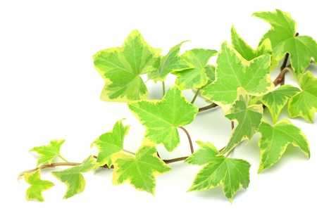 houseplant: I took ivy in a white background.