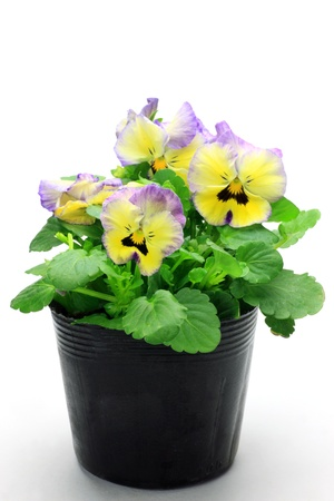 I took the pansy which was in the pot in a white background  photo