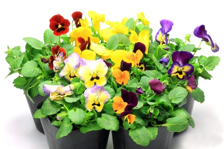 I took many pansies and violas in a white background  photo