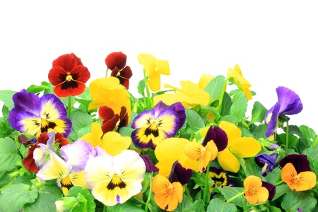 violas: I took many pansies and violas in a white background