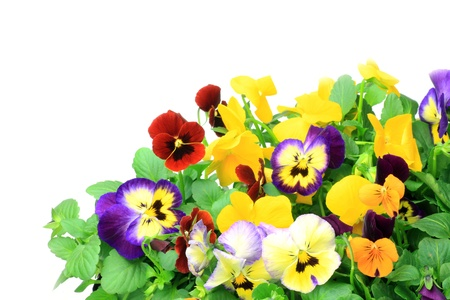 plural number: I took many pansies and violas in a white background
