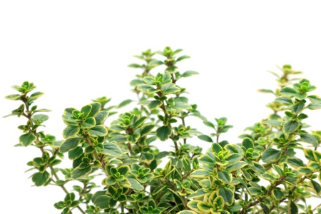 I photographed golden lemon thyme in a white background.