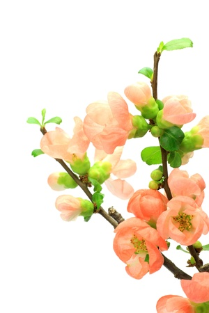 I took a Japanese quince in a white background. photo