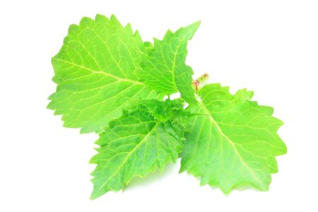 sprout of hydrangea Archivio Fotografico
