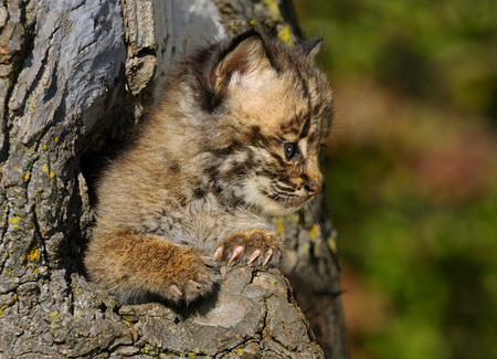 Bobcat kitten looking out from a hollow tree den in an Autumn forest