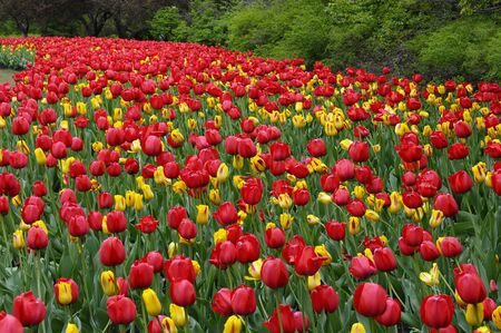 impression: Sweeping bed of Red Impression and yellow Washington Tulips