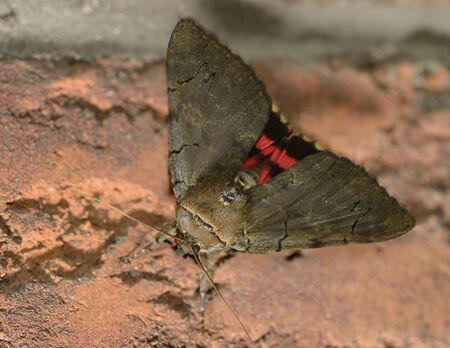 underwing: Red Underwing moth on a brick wall