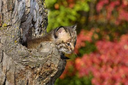 lince rojo: Gatito Bobcat asomándose desde el hueco de un árbol con hojas rojas en un bosque de otoño