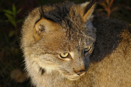 sates: Close up of a Canadian Lynx face in the morning sun