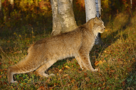 sates: Canadian Lynx crouching in the morning sun watching for prey at the edge of a colorful Autumn forest LANG_EVOIMAGES