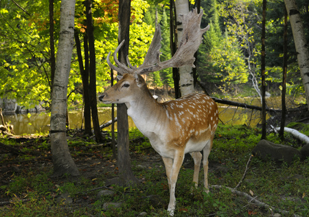 Male Fallow Deer with growing antlers in a forest by a river in a Quebec nature preserve LANG_EVOIMAGES