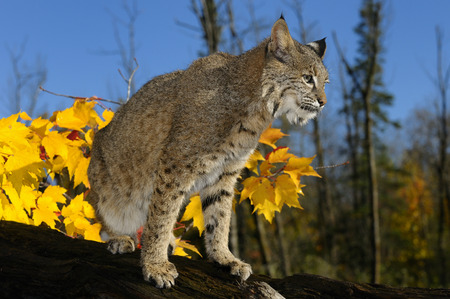 sates: Bobcat looking out from a fallen tree trunk with yellow maple leaves and blue sky