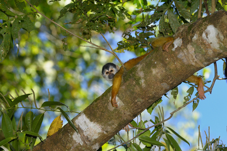 Common squirrel monkey spreadeagled on a tree branch in the rainforest of Costa Rica