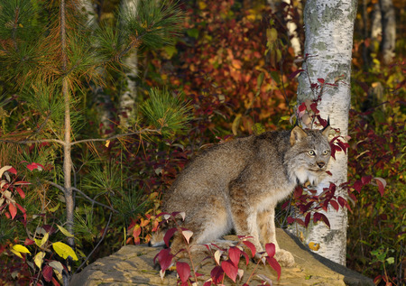 sates: Canadian Lynx sitting on a rock in a colorful birch forest in Autumn at sunrise