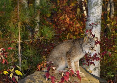 lince rojo: Canadiense, lince, sentado, roca, colorido, abedul, bosque, otoño, amanecer