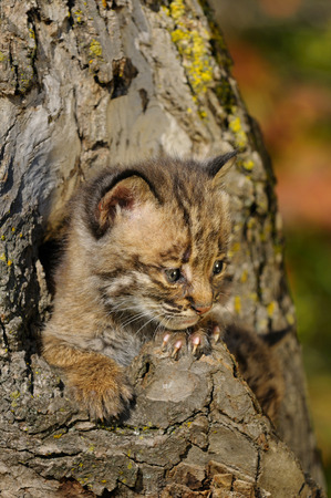 the lynx: Bobcat kitten peeking out from a tree hollow den in a forest with Fall colors LANG_EVOIMAGES