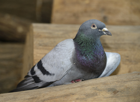 Racing homer pigeon lost with injured wing on wood pile in Toronto
