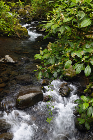Tropical rainforest stream with Conostegia bush at Poas volcano Costa Rica