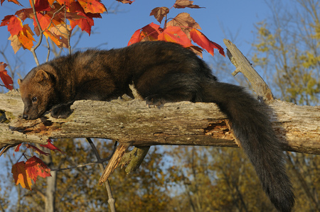 pekan: Adult fisher lounging on a dead tree branch with red maple leaves in an Autumn forest LANG_EVOIMAGES