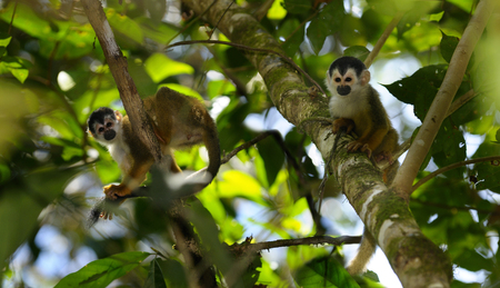 Common squirrel monkeys resting and grooming in rainforest trees Costa Rica