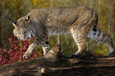sates: Bobcat walking along a fallen tree trunk with red maple leaves in Autumn