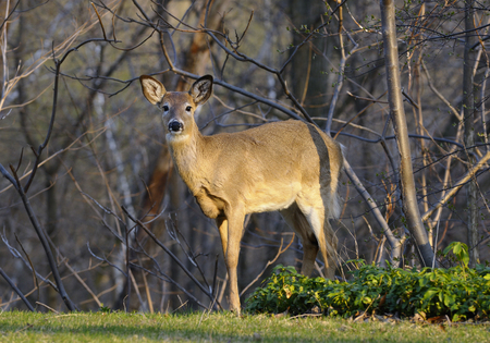 invade: White tailed deer invading a Toronto backyard garden on a spring evening