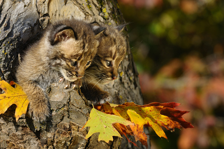 Pair of cautious Bobcat kittens looking out from the hollow of a tree with Fall colors LANG_EVOIMAGES