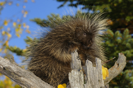 North American Porcupine holding on to a dead tree stump in an open forest in the Fall