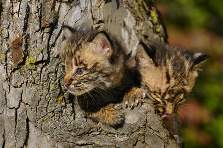 Pair of curious Bobcat kittens peeking out from the hollow of a tree with Fall colors