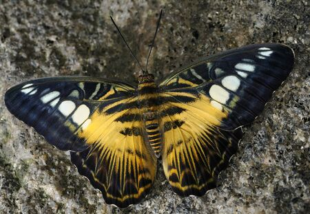 Brown Clipper butterfly sidelit on a granite rock LANG_EVOIMAGES