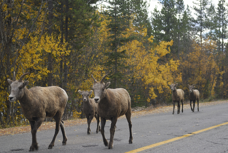 rocky mountain bighorn sheep: Young Bighorn mountain sheep walking on a road in Banff National Park LANG_EVOIMAGES