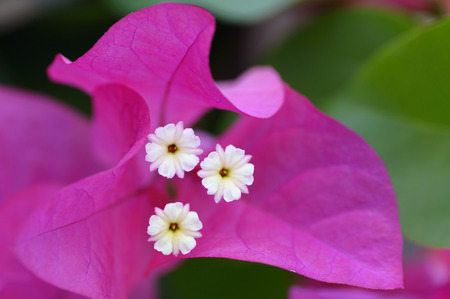 bracts: Close up of white Bougainvilla flowers and pink bracts LANG_EVOIMAGES