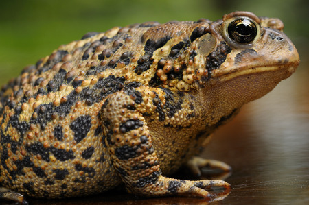 Side view of an Eastern American Toad