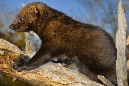 pekan: Fisher climbing a dead tree showing large teeth and large paw with five sharp retractible claws