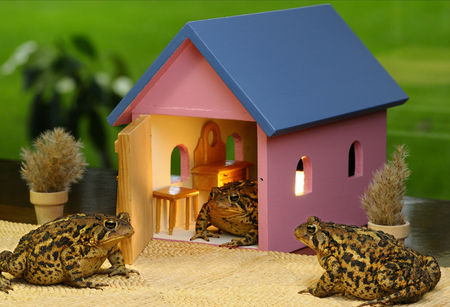 Three Eastern American Toads gathering to visit at a house party