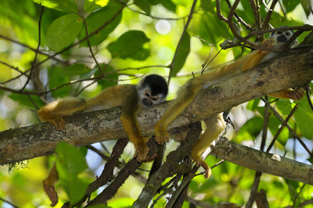 Common squirrel monkeys resting on a tree branch in the rainforest of Costa Rica LANG_EVOIMAGES