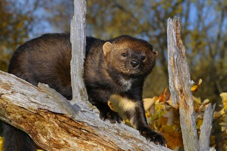 pekan: Staring North American Marten climbing down a tree stump in the Fall showing white chest markings