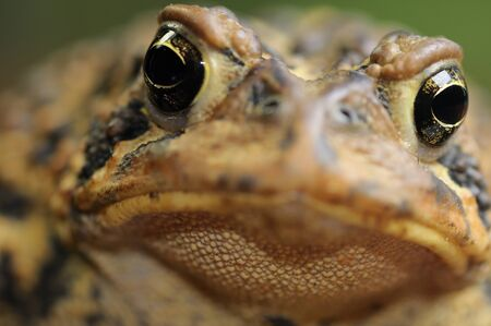 Close up front view of an Eastern American Toad face LANG_EVOIMAGES