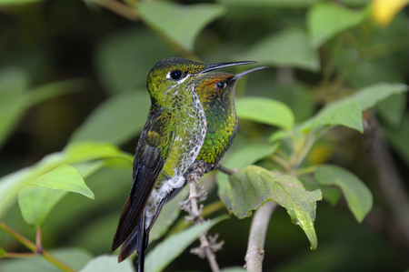 Female Green Crowned Brilliant humingbird and blurred Coppery Headed Emerald in Costa Rica