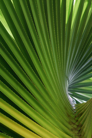 Abstract whorl of Screwpine tree leaves LANG_EVOIMAGES